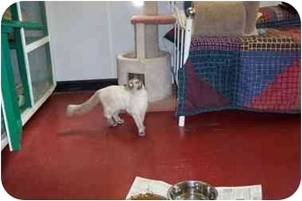 Siamese Cat for adoption in Jeffersonville, Indiana - Missy