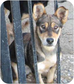 Dachshund/Shepherd (Unknown Type) Mix Dog for adoption in Poway, California - Danny Boy