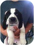 Cocker Spaniel Mix Puppy for adoption in Lonedell, Missouri - jeffry