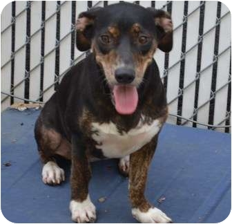 Dachshund/Terrier (Unknown Type, Small) Mix Dog for adoption in West Hartford, Connecticut - Maggie