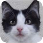 Domestic Longhair Kitten for adoption in Wheaton, Illinois - Maverick
