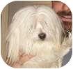 Havanese Mix Dog for adoption in Hamilton, Ontario - Alfie