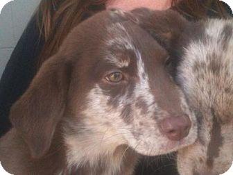 Australian Shepherd/Labrador Retriever Mix Puppy for adoption in Carrollton, Georgia - Isaac