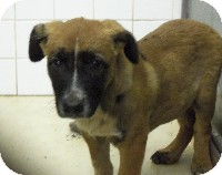 German Shepherd Dog/Australian Cattle Dog Mix Puppy for adoption in Abilene, Texas - Boris