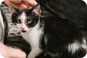 Domestic Shorthair Kitten for adoption in Warren, Michigan - Google