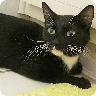 Domestic Shorthair Cat for adoption in Seminole, Florida - Holly