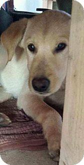 Labrador Retriever Mix Puppy for adoption in Wappingers, New York - Fletcher
