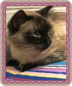 Siamese Cat for adoption in Marietta, Georgia - ISABELE (R)