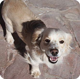 Spaniel (Unknown Type) Mix Dog for adoption in Henderson, Nevada - Buddy