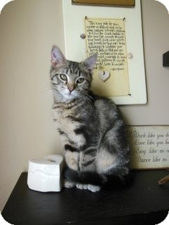 Domestic Shorthair Kitten for adoption in Knoxville, Tennessee - Herbie