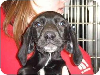 German Shorthaired Pointer/Labrador Retriever Mix Puppy for adoption in Mason City, Iowa - Rose