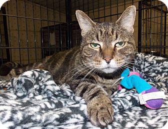 Domestic Shorthair Cat for adoption in Chesapeake, Virginia - Tonya FIV+