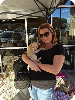 Terrier (Unknown Type, Small) Mix Puppy for adoption in Las Vegas, Nevada - Chi Puppy