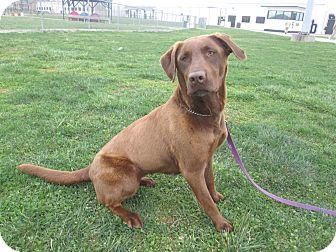 Labrador Retriever Mix Dog for adoption in LaGrange, Kentucky - DIXIE