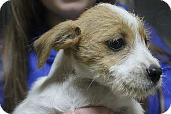Terrier (Unknown Type, Small)/Jack Russell Terrier Mix Puppy for adoption in Mt Sterling, Kentucky - Wendy