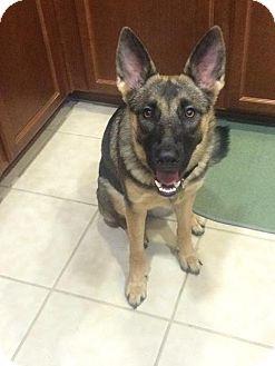 German Shepherd Dog Mix Puppy for adoption in Walnut Creek, California - Lilo