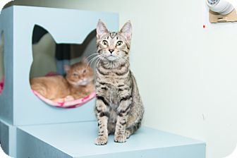 Domestic Shorthair Cat for adoption in Chicago, Illinois - Marlin
