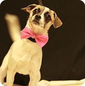 Chihuahua Mix Dog for adoption in Twin Falls, Idaho - Cha Cha