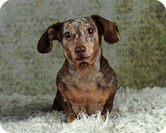 Dachshund Dog for adoption in Las Vegas, Nevada - Zeus