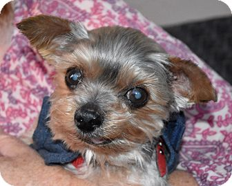 Yorkie, Yorkshire Terrier Dog for adoption in Canyon Country, California - GIzmo