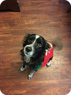 Papillon/Sheltie, Shetland Sheepdog Mix Dog for adoption in Pittsburgh, Pennsylvania - Doogie