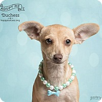 Adopt A Pet :: Duchess - Chandler, AZ