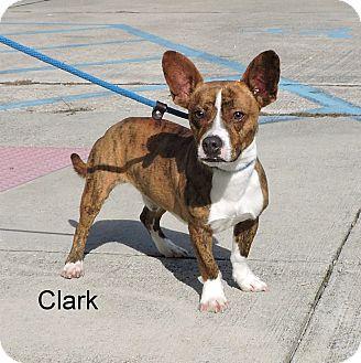 Boston Terrier/Corgi Mix Dog for adoption in Slidell, Louisiana - Clark