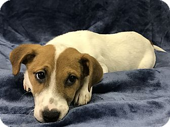 Jack Russell Terrier/Patterdale Terrier (Fell Terrier) Mix Puppy for adoption in Redding, California - Windu