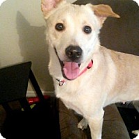 Adopt A Pet :: Lily - Raleigh, NC