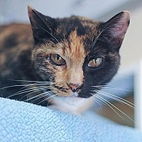 Domestic Shorthair Cat for adoption in Kanab, Utah - Splash