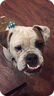 English Bulldog Mix Dog for adoption in Mesa, Arizona - Luna