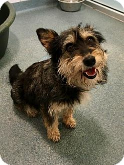 Standard Schnauzer Mix Dog for adoption in Dallas, Texas - Belinda