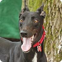 Adopt A Pet :: Felix - Ware, MA