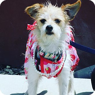 Wirehaired Fox Terrier/Chihuahua Mix Dog for adoption in Redondo Beach, California - Precious Penelope!!