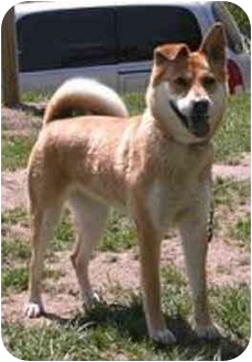 Akita/Husky Mix Dog for adoption in Oxford, Michigan - Tasha