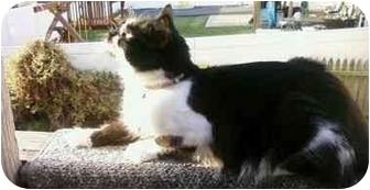 Domestic Mediumhair Cat for adoption in Baltimore, Maryland - Bitta