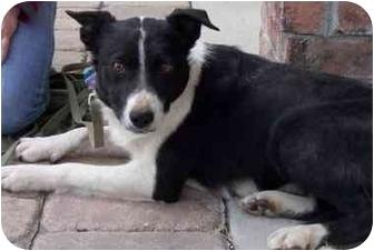 Border Collie Dog for adoption in Denver, Colorado - Meg