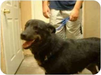 Husky/Retriever (Unknown Type) Mix Dog for adoption in Aledo, Illinois - Tori