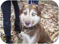 """Husky Mix Puppy for adoption in Various Locations, Indiana - """"Hans is Urgent"""""""