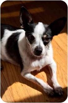 Chihuahua/Rat Terrier Mix Dog for adoption in Encino, California - Sushi