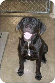 Labrador Retriever Mix Dog for adoption in Osceola, Arkansas - Mary Jane