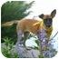 Photo 2 - Shepherd (Unknown Type) Mix Puppy for adoption in Wayne, New Jersey - Scruffy