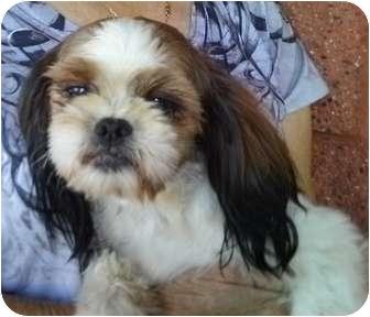 Shih Tzu Dog for adoption in Nuevo, California - Brandy