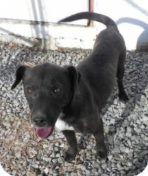 Border Collie/Patterdale Terrier (Fell Terrier) Mix Dog for adoption in West Milford, New Jersey - ASTRO 25lbs