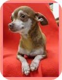 Chihuahua Mix Dog for adoption in Brattleboro, Vermont - Ladybug