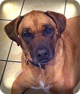 Boxer/Rhodesian Ridgeback Mix Dog for adoption in Lincolnton, North Carolina - Jeb