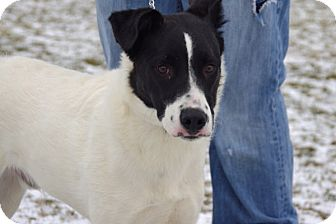 Border Collie Mix Dog for adoption in Elyria, Ohio - George