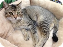 Domestic Shorthair Cat for adoption in Modesto, California - Sarah