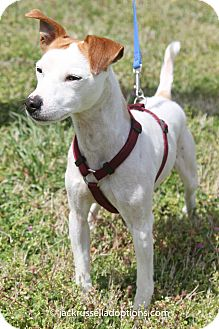 Jack Russell Terrier Dog for adoption in Conyers, Georgia - Elvis