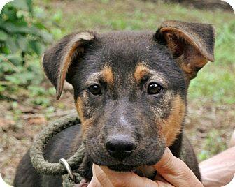 German Shepherd Dog Mix Puppy for adoption in South Dennis, Massachusetts - Gweneth